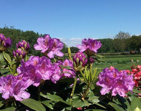 Bloei Rododendron 5 mei 2020